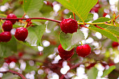 Wet cherry berries after a rain in the summer