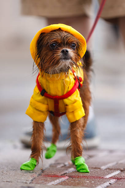 Wet Chihuahua A wet dog wearing a colorful rain gear
