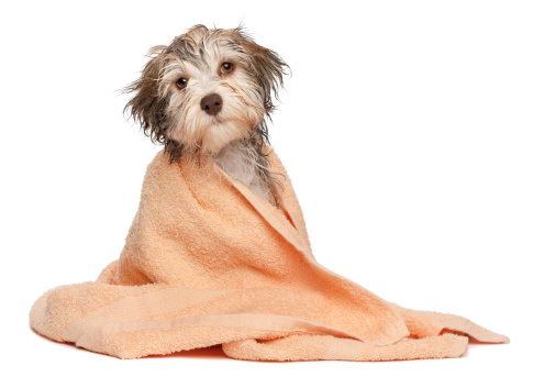 Small wired dog covered in a towel getting dried off after being in winter snow.