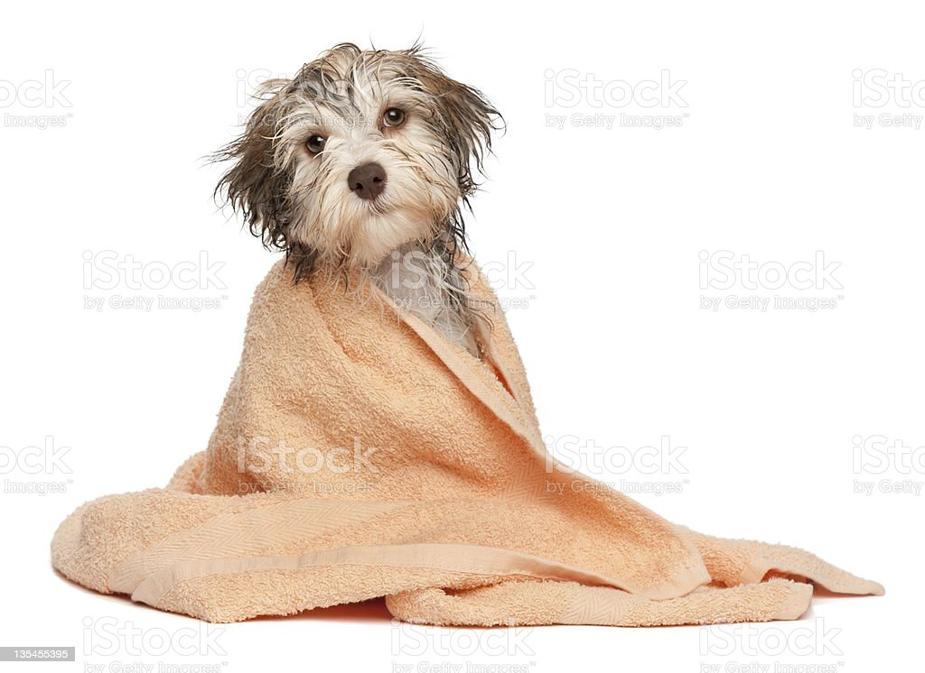 Wet chocolate havanese puppy after bath stock photo