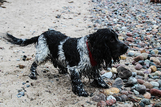 wet cocker spaniel dog at the Stone coast - Photo