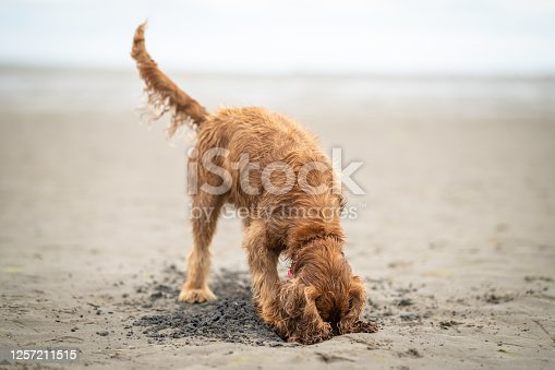A wet cocker spaniel dog digging a hole in the sand on a damp beach