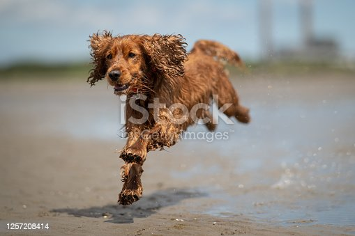 A wet cocker spaniel dog jumping in water on Sandymount beach, Dublin, in the sunshine, with a wet coat