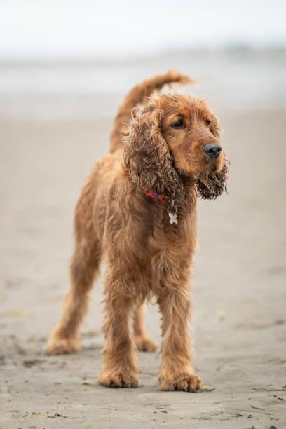 Wet cocker spaniel dog playing on a sandy beach covered in water picture id1257207411?b=1&k=6&m=1257207411&s=612x612&w=0&h=xemwpiocav5p23goygxltadb1c5qxu0fq5pdj2estq4=