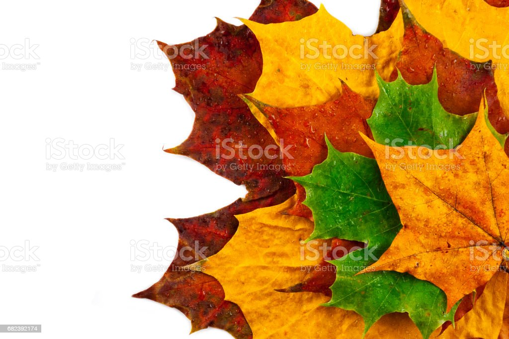 Wet colored maple leaves royalty-free stock photo
