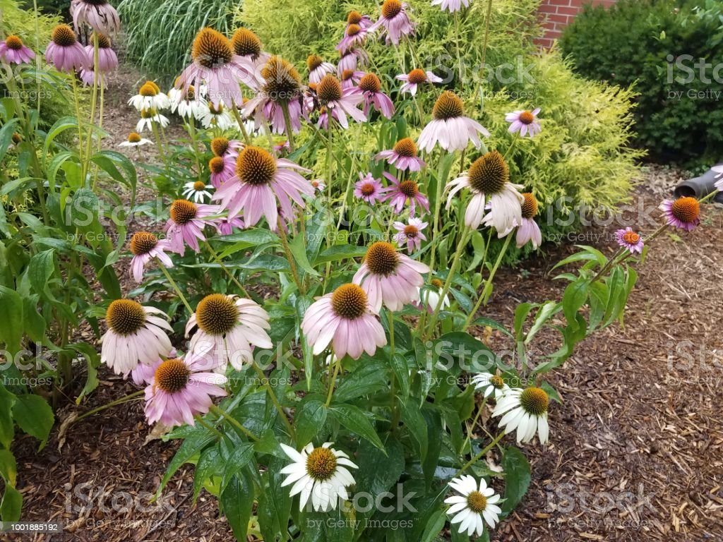wet cone flowers with white and pink petals stock photo