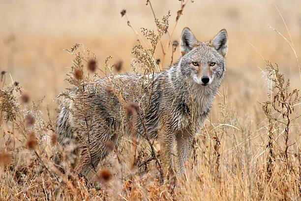 Wet coyote in wildlife refuge New Mexico stock photo