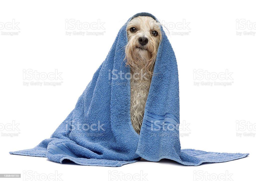 Wet cream havanese dog after bath royalty-free stock photo