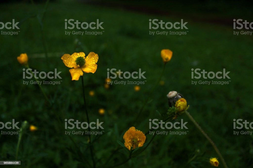 wet daisies - Royalty-free Beauty In Nature Stock Photo