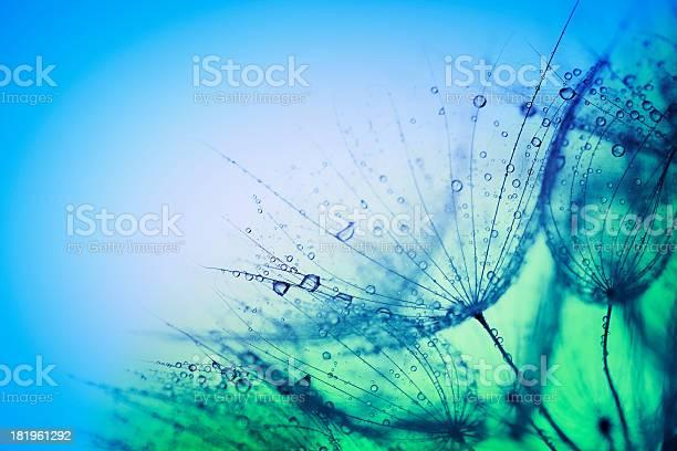 Photo of Wet dandelions