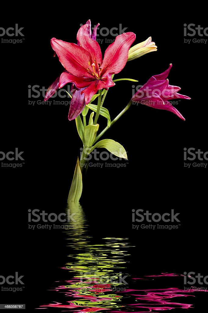Wet daylilies on a black background royalty-free stock photo