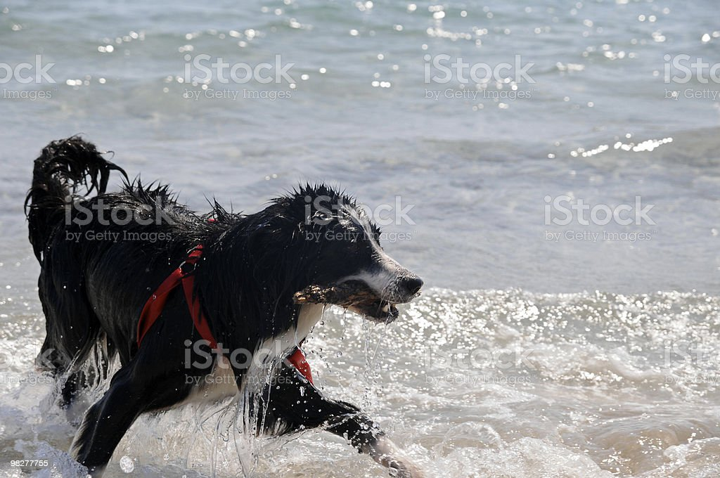 wet dog and wooden piece in mouth (series) royalty-free stock photo