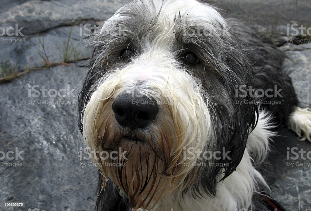 Wet dog royalty-free stock photo