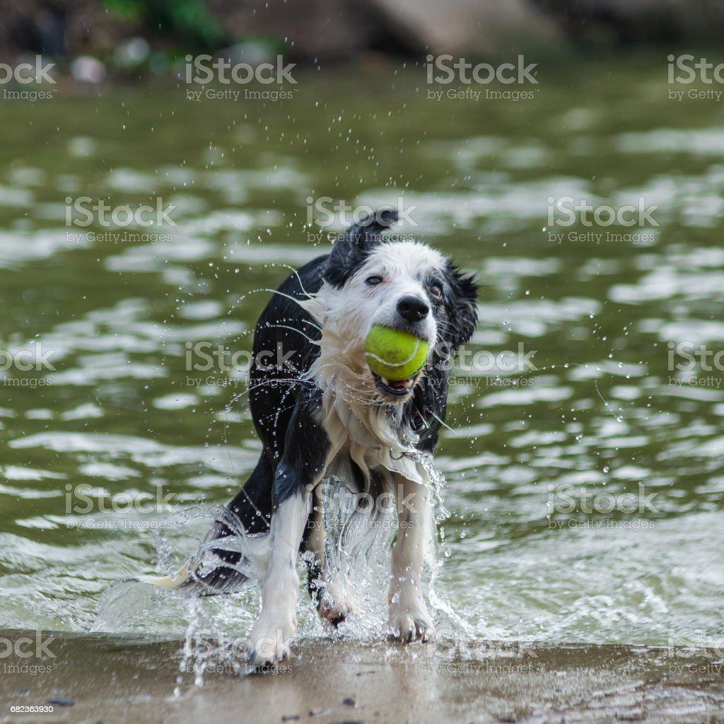 wet dog shaking off water royaltyfri bildbanksbilder