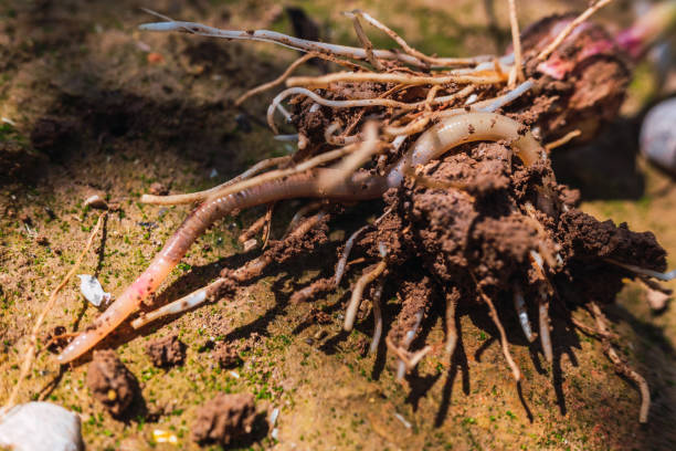 Wet earthworm digging in a dirt orchard. Wet earthworm digging in a dirt orchard. annelid stock pictures, royalty-free photos & images