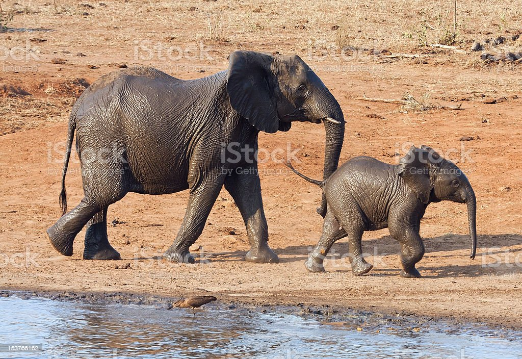 Wet elephant cow and calf playing stock photo