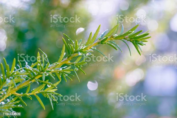Photo of A wet evergreen branch with sparkling water droplets.