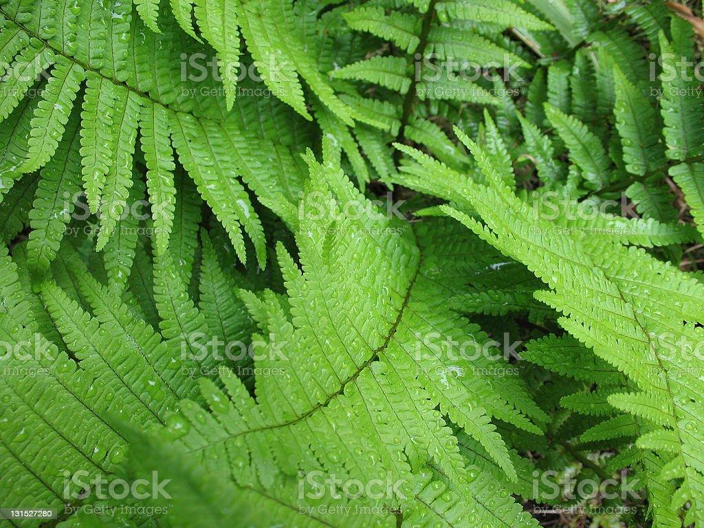 Wet Ferns royalty-free stock photo