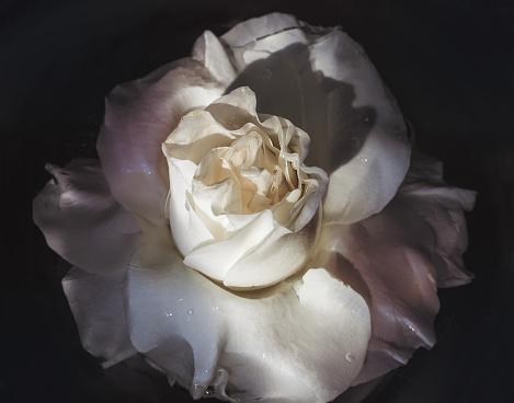 Wet flower of white rose