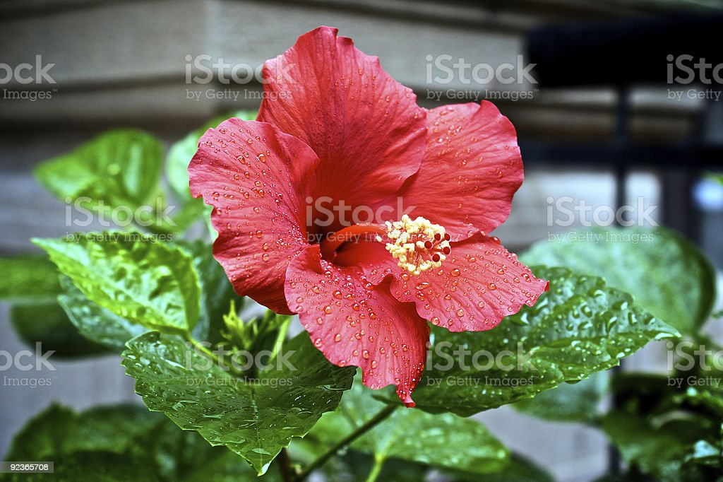 wet flower royalty-free stock photo