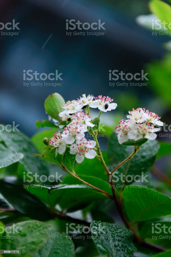 Wet Flowers Aronia melanocarpa in the garden stock photo