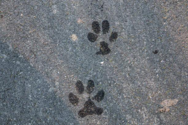 Nasse Fußabdrücke eines Hundes oder eines Wolfes auf dem Boden – Foto