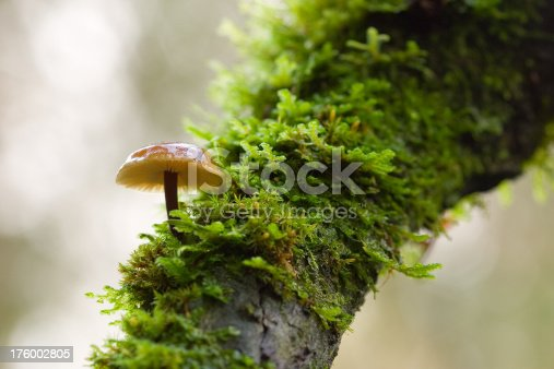 Mushroom growing from tree in moist Pacific NW forest.