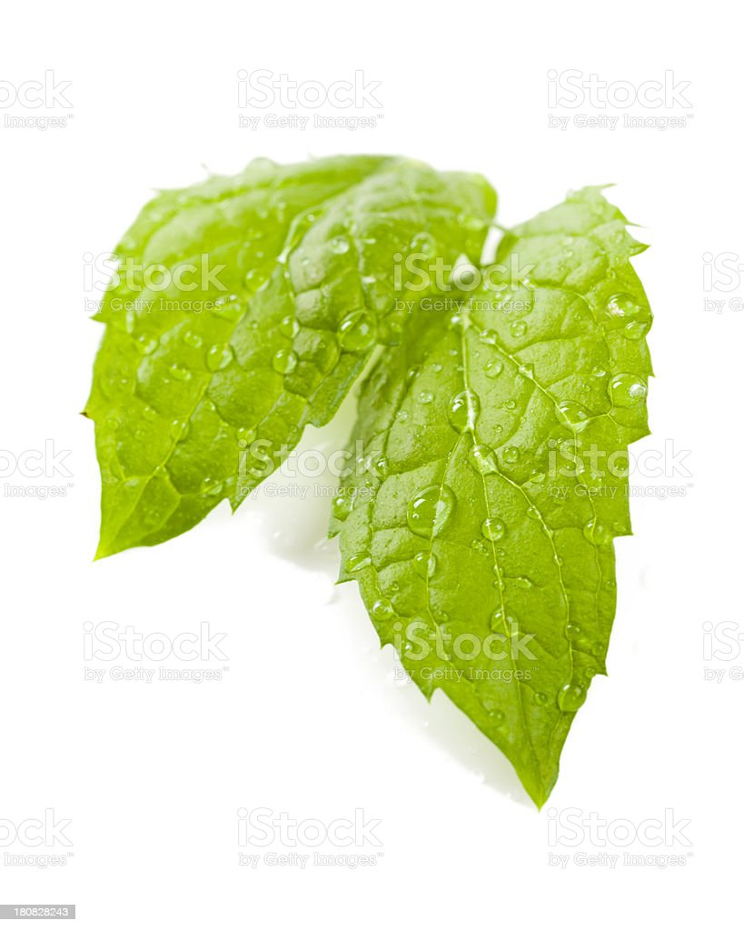 wet fresh mint stock photo