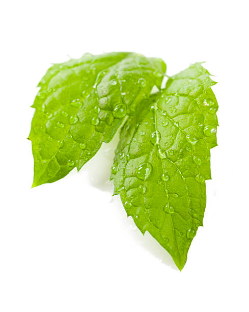 wet fresh mint stock photo