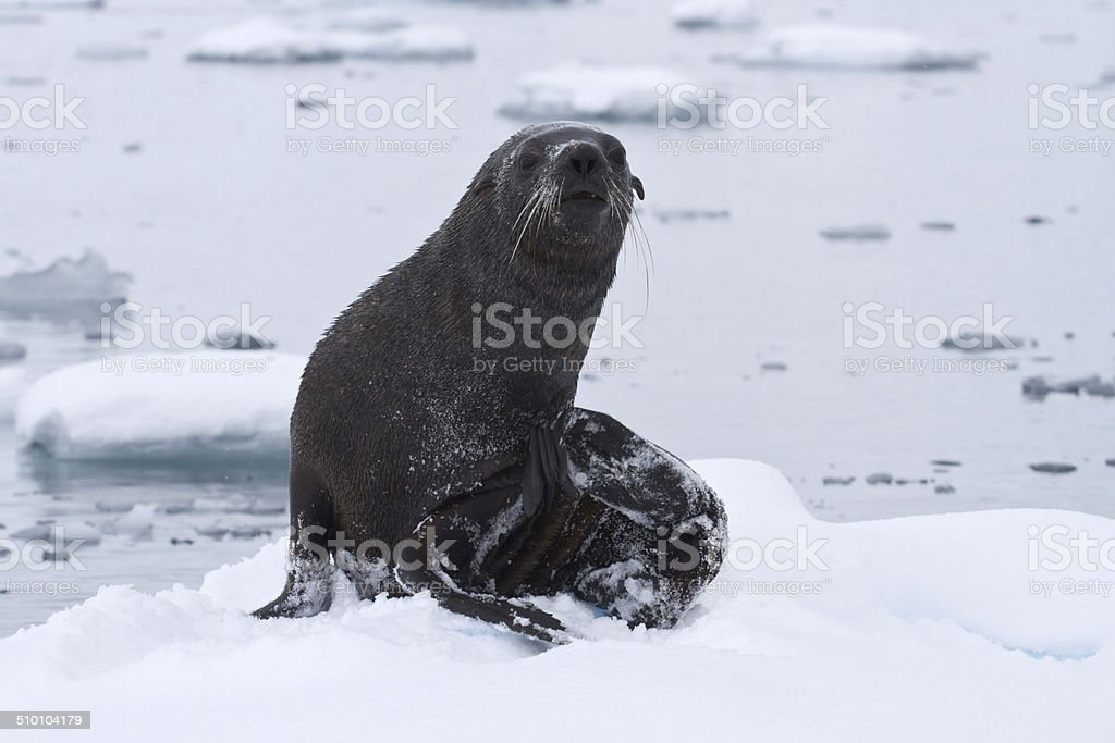 wet fur seal that came out to the ice floe stock photo