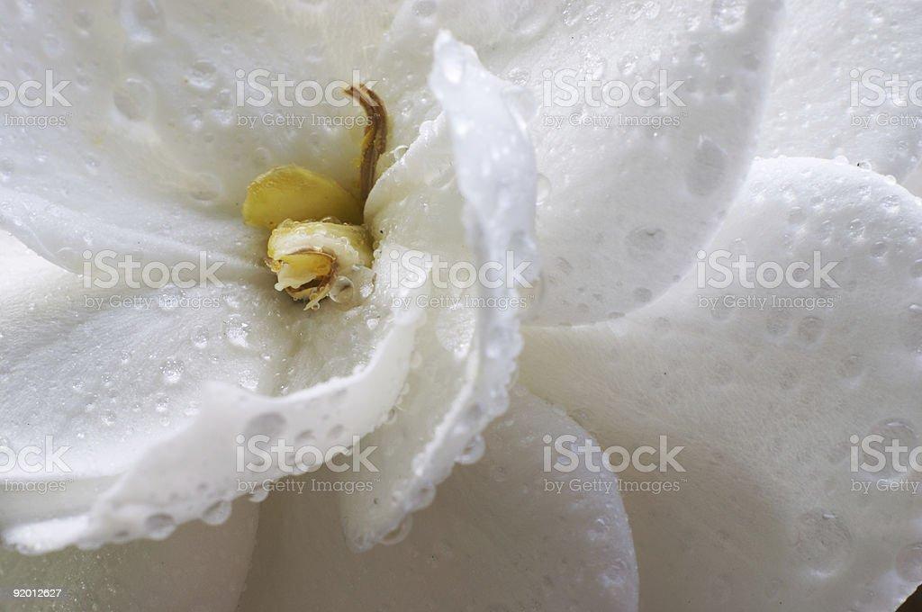 Wet Gardenia flower