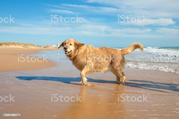 Wet golden retriever dog in the beach running on the seashore picture id1068468074?b=1&k=6&m=1068468074&s=612x612&h=awaq1kckowlqt06qi3aemngnbh1bxydugccvrwjoyr4=