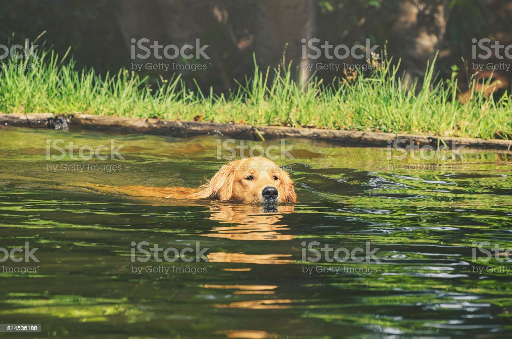Wet Golden Retriever dog swimming on waters of a lake stock photo