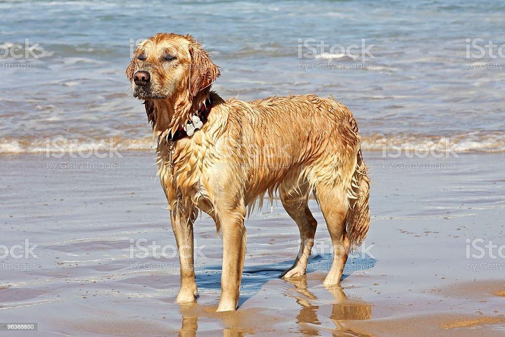 Wet golden retriever - Royalty-free Animal Stock Photo