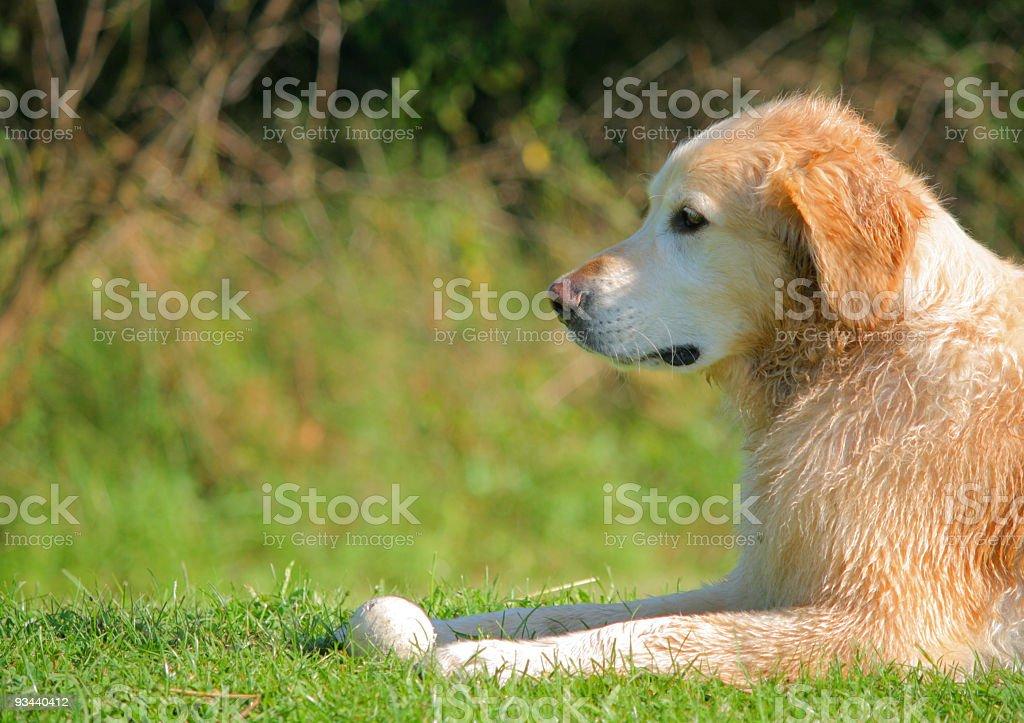 Wet Golden Retriever warten auf Lizenzfreies stock-foto