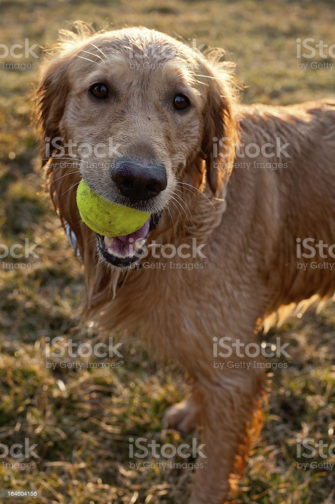 wet golden retriever with tennis ball royalty-free stock photo