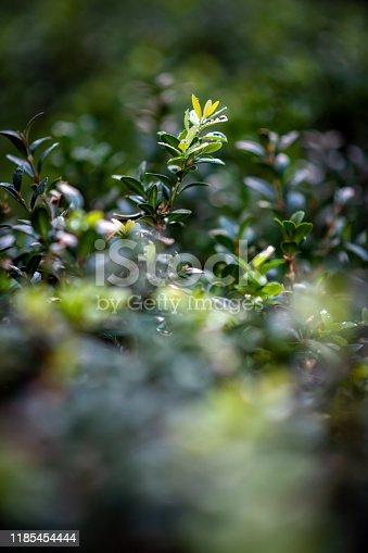 Wet hedge leaves