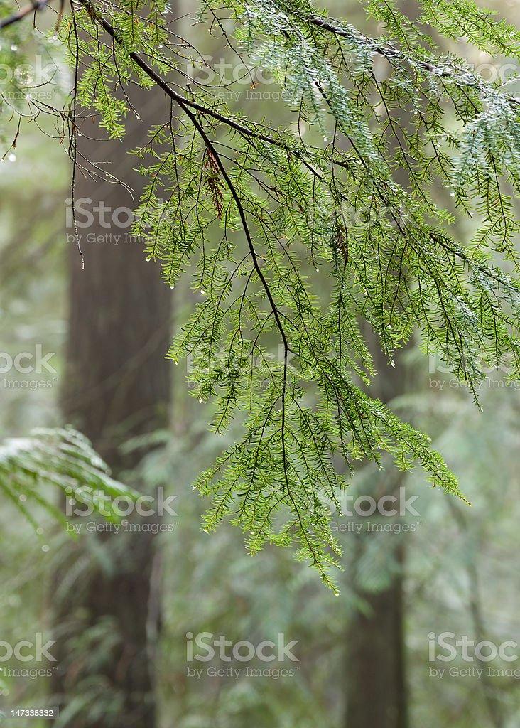 Wet hemlock tree stock photo