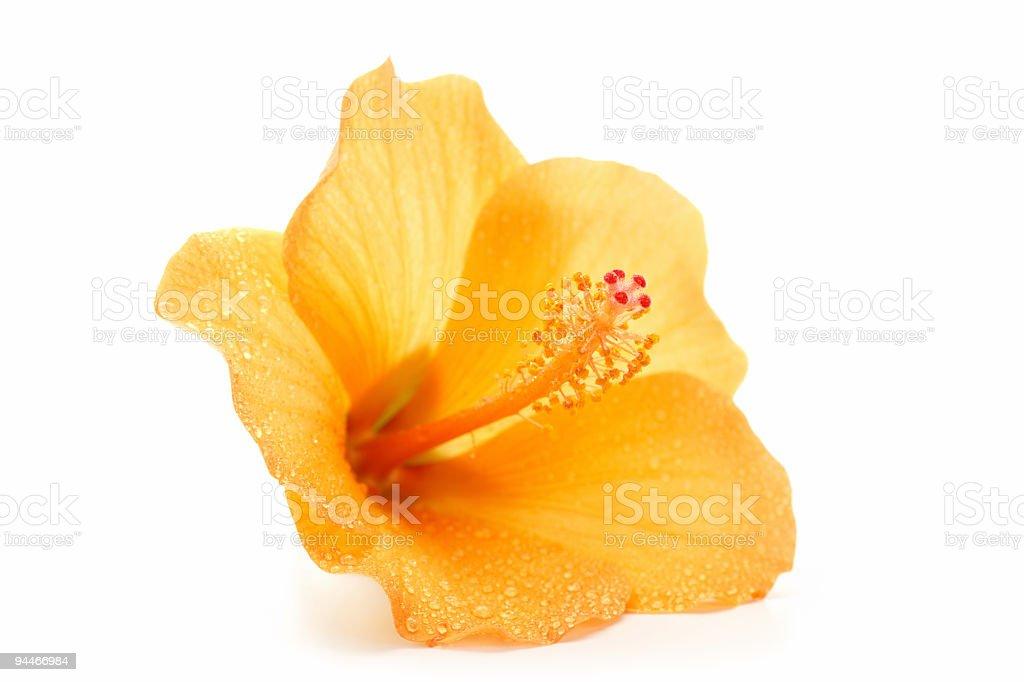 wet hibiscus stock photo