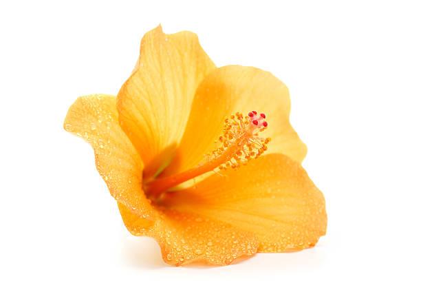 wet hibiscus - foderblad bildbanksfoton och bilder