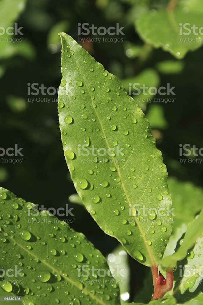 wet laurel royalty-free stock photo