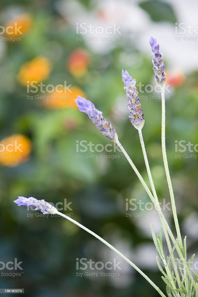 Wet lavender royalty-free stock photo