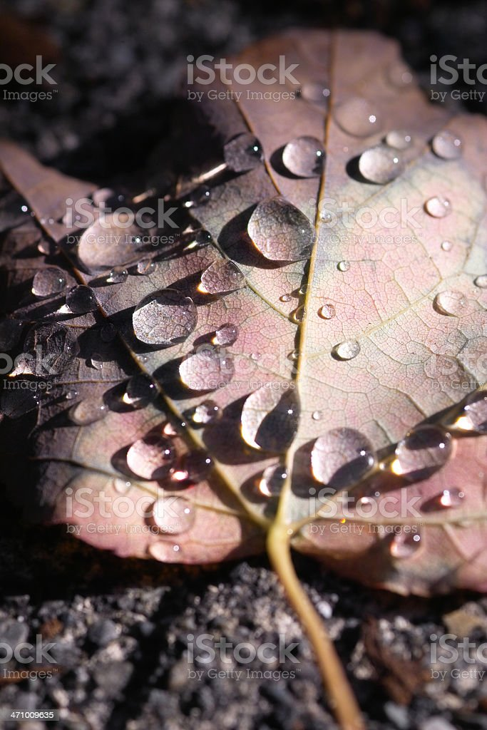 Wet Leaf III royalty-free stock photo