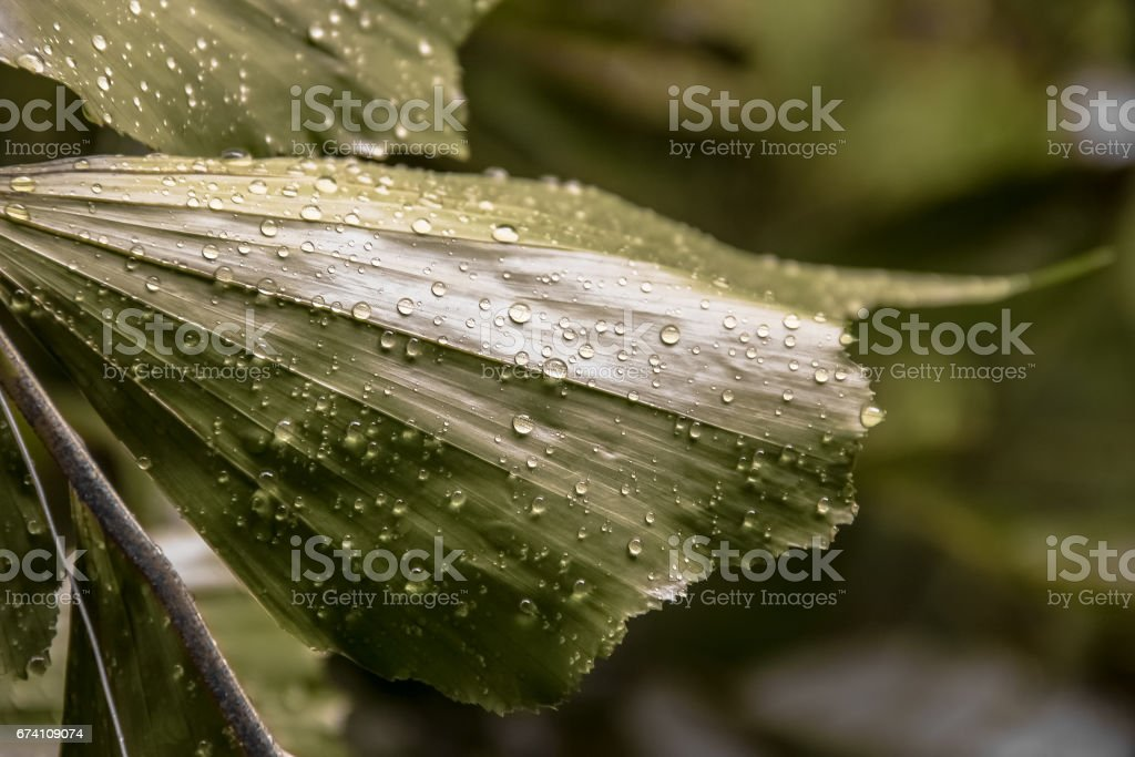 Wet leaves of a lush tropical plant royalty-free stock photo