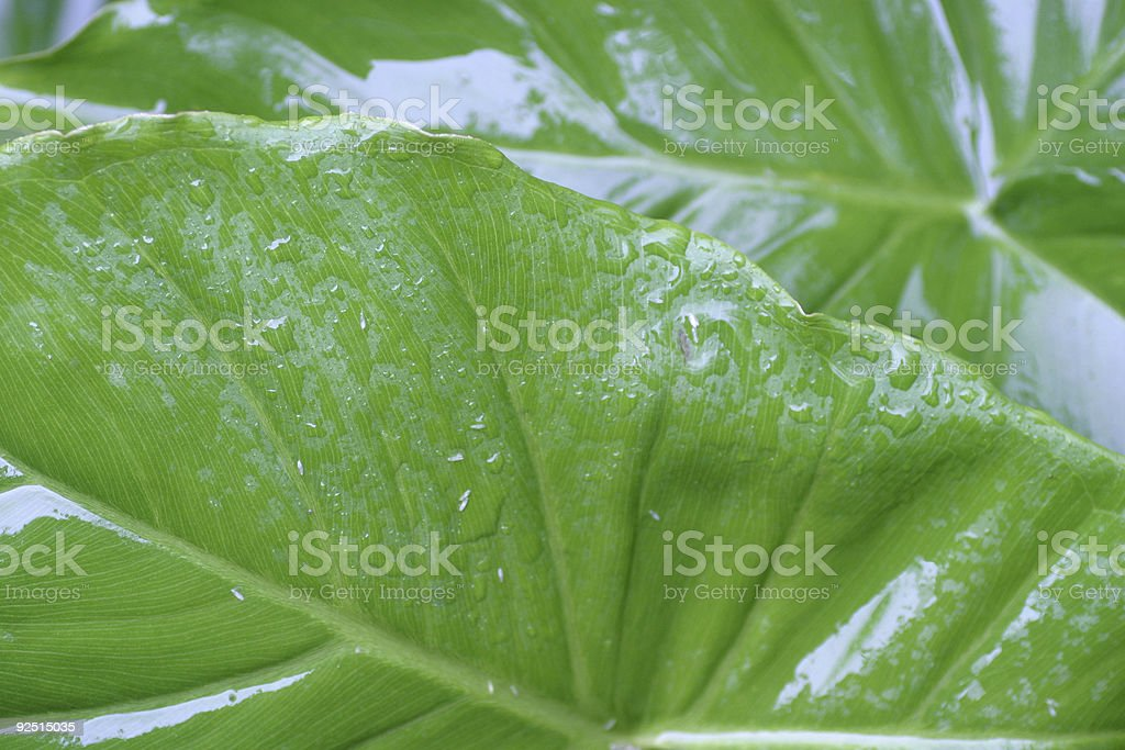 Wet Leaves royalty-free stock photo