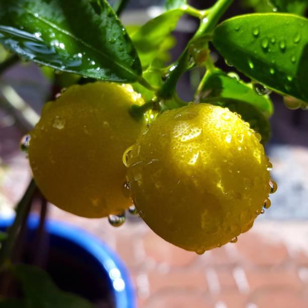 Nassen Zitronen auf einen Baum, Garten – Foto