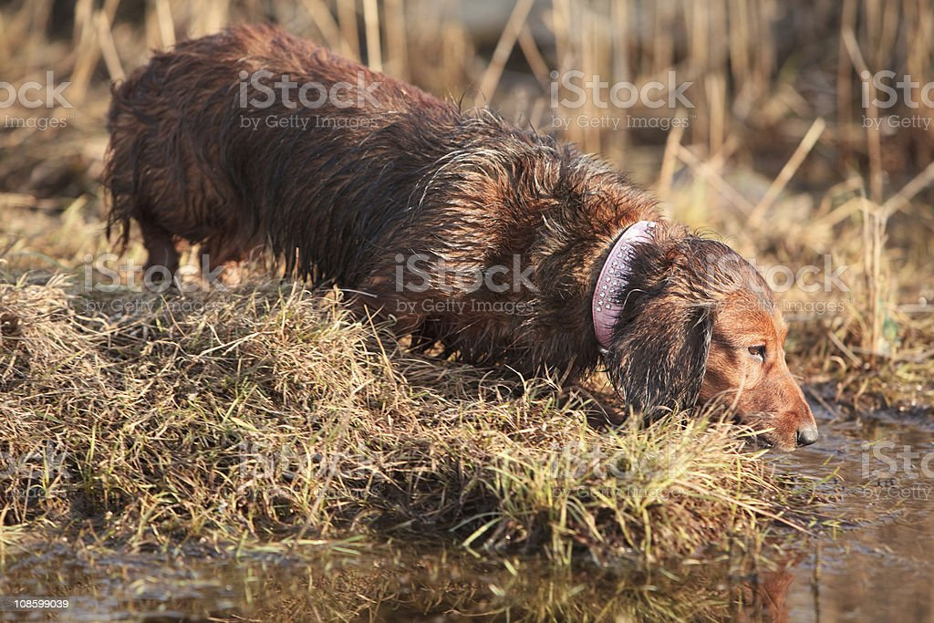 Wet long haired badger dog on the dry grass royalty-free stock photo