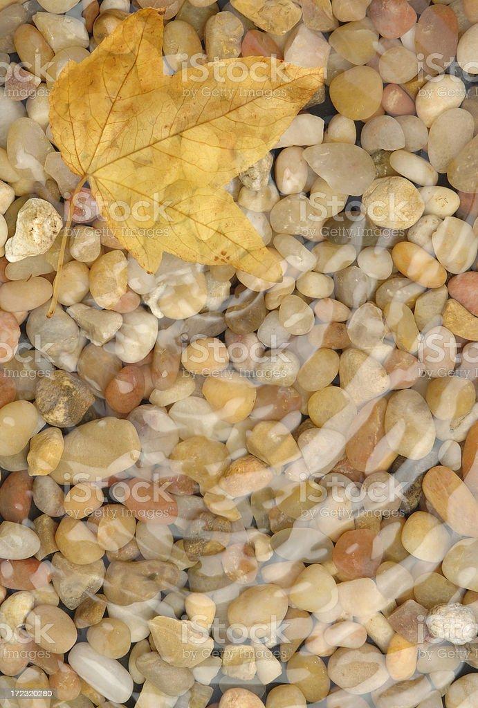Wet Maple Leaf royalty-free stock photo