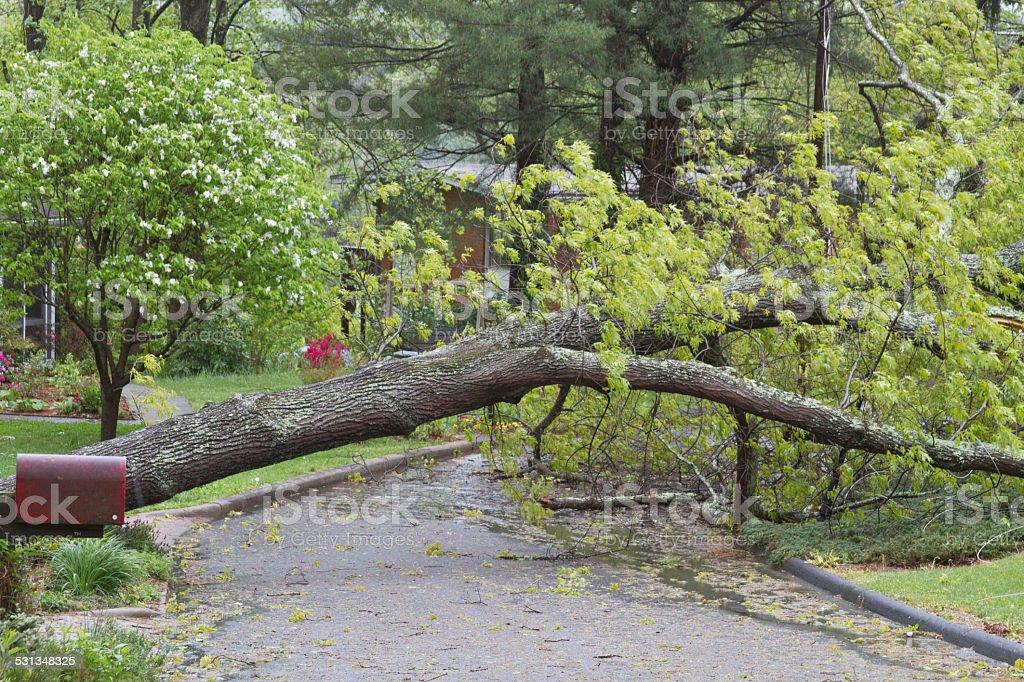 Wet Oak Tree Lies Across a Street stock photo