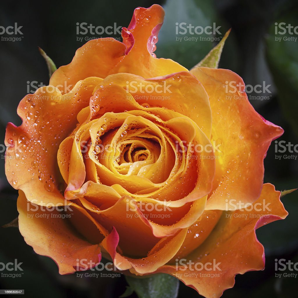 Wet orange and red rose flower close-up photo royalty-free stock photo